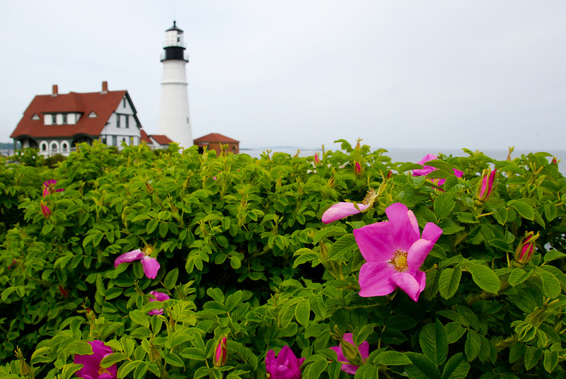 Portland Head Light<br /> Not sure what these flowers are, but we saw them all along the coast.