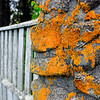 "<span id=""title"">Orange Lichen</span> This bright orange lichen was everywhere. It makes everything look old and neat."
