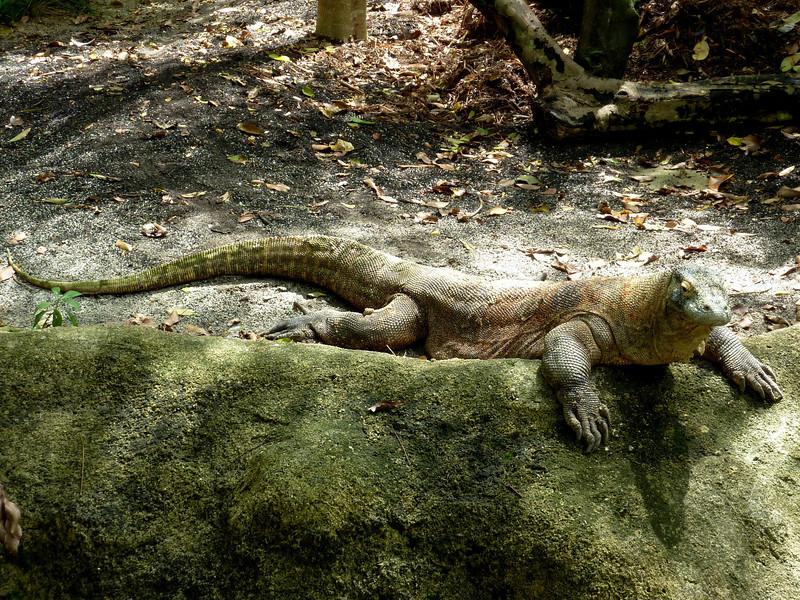 Komodo dragon - Singapore Zoo