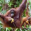 Mother and child having breakfast - Semenggoh Orangutan Sanctuary
