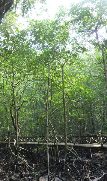 Mangrove forest from Bat Cave, northeast Langkawi