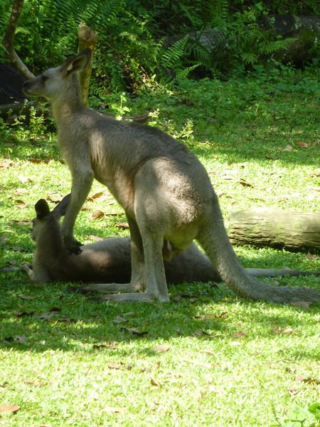 Western gray kangaroos