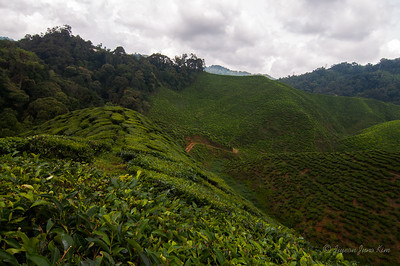 Cameron Valley Bharat tea plantation field