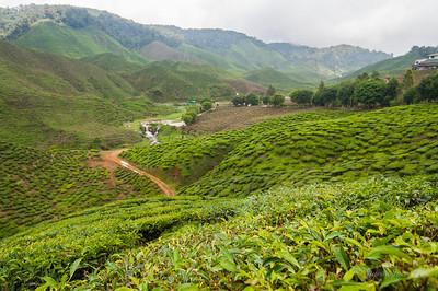 Cameron Valley Bharat tea plantation field