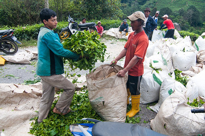 Workers at Boh Sungei Palas Tea Centre