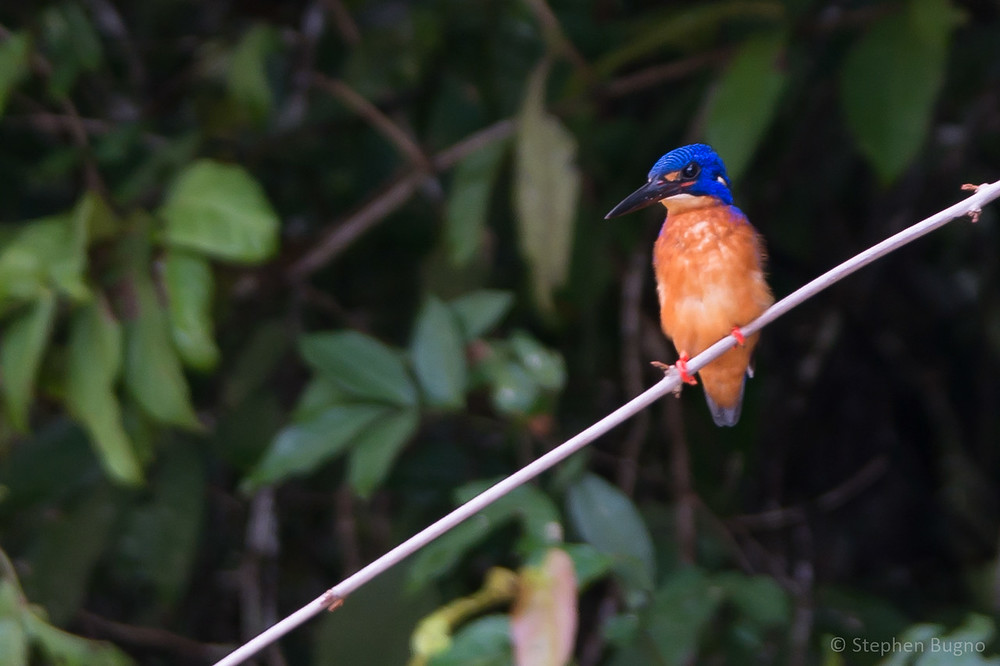 wildlife on the kinabatangan river