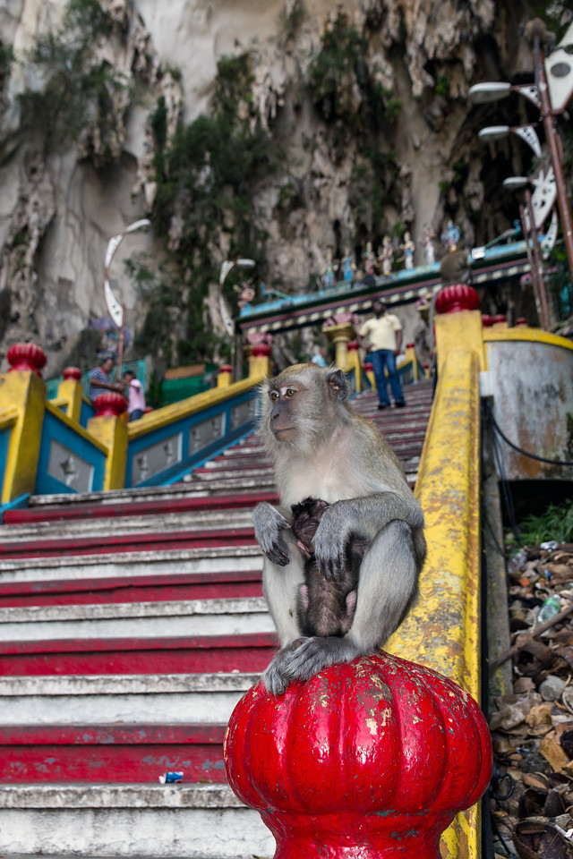 Long Tailed Macaque, Batu Cave Steps