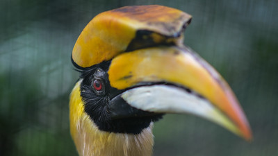 Great Hornbill in KL bird park.