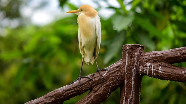 Cattle Egret in KL bird park.