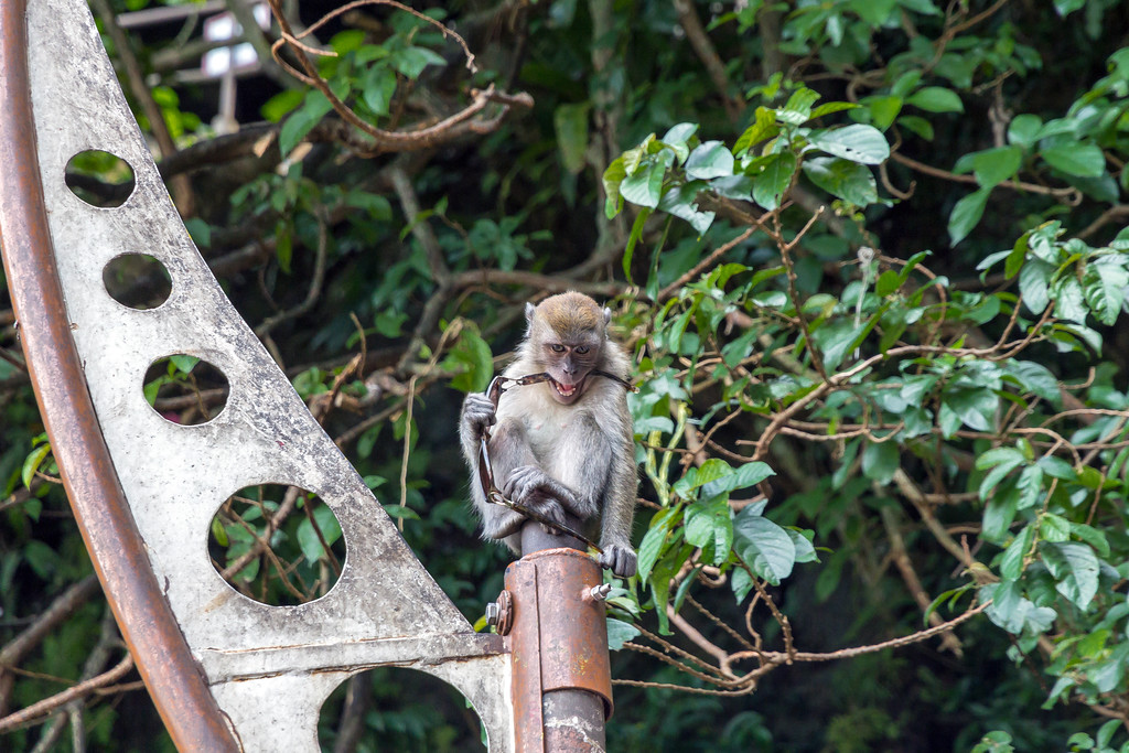 Monkey Thief, Batu Caves Steps