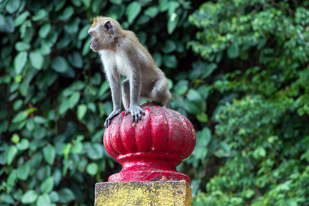 Long Tailed Macaque, Batu Caves Steps