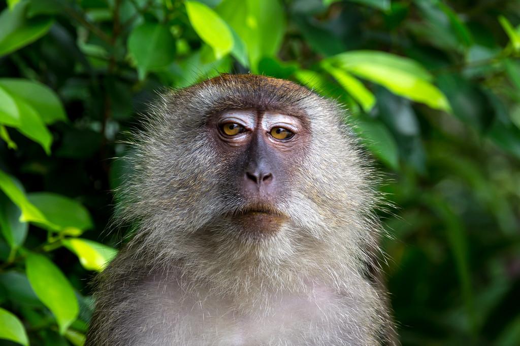 Monkey at Temurun Waterfall, Langkawi