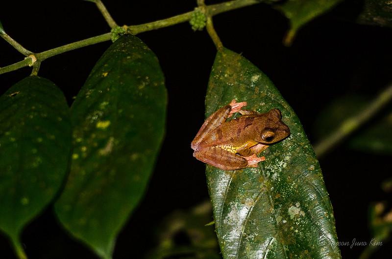 Gunung Gading Tree Frog