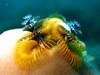 Christmas Tree Worm (Spirobranchus giganteus) 3464