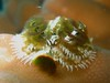 Christmas Tree Worm (Spirobranchus giganteus) 3468