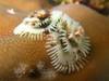 Christmas Tree Worm (Spirobranchus giganteus) 3467