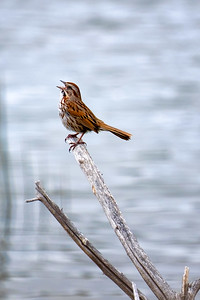 Song Sparrow belting out a call