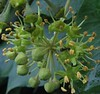 English Ivy flower head (Hedera helix)