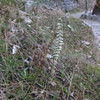 Autumn Lady's Tresses orchid (Spiranthes spiralis)