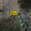 Warty St. Johnswort (Hypericum balearicum)