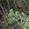 Tree Spurge (Euphorbia dentoides)