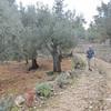 Sybille walking by Olive trees (Olea europaea)