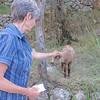 Sybille met a little lamb