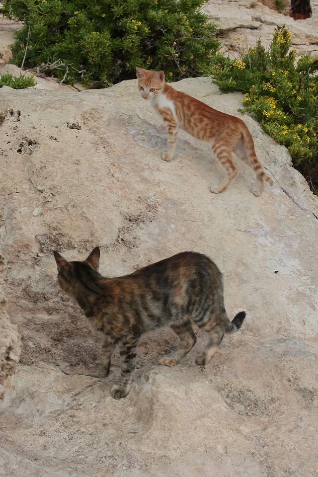 Maltese cats
