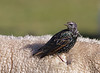 Common starling, Stær, Sturnus vulgaris, Mandø, Danmark, Aug 2012