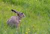 Hare, Mammals, Mandø, Danmark, Landscape