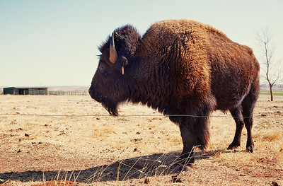 ... but the pen of live bison were pretty cool. In that non-moving kind of way.