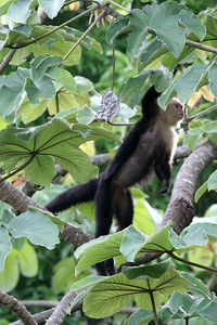 This is shot from the balcony of the hotel near Manual Antonio. Each morning the white-faced monkeys would come through the trees nearby, sometimes hopping onto the next building's roof.