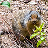 Columbian ground squirrel - with teeth
