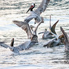 scraps in the air, pelicans all a-flutter!
