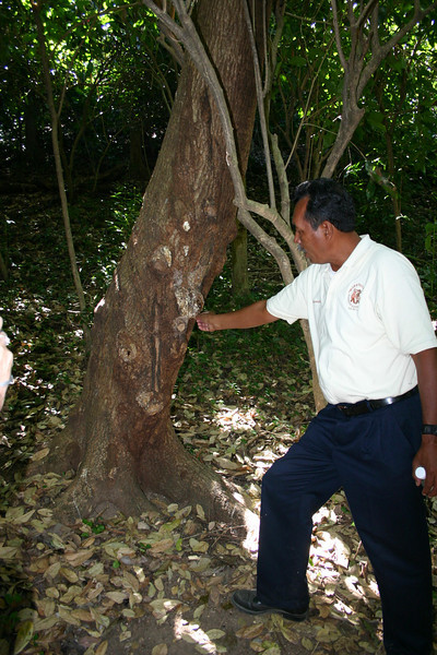 Our tour guide is showing us a gum tree, the white sap being the gum.  The sap of the gum tree is not sweet, flavouring is added later on in the gum-making process.