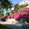 Just a pretty picture of bougainvillea.