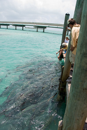 Visit to Islamorada where the Tarpon are thick and hand fed