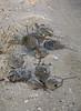 Hundreds of Horseshoe Crabs Mating along the Beach on Cedar Key - Gulf Coast of Florida