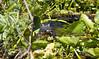 Mama Gator Seen in Lake Okeechobee, Florida