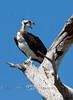 Osprey Sitting on its Perch - Gulf Coast of Florida