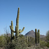 3.1.09 - Sonoran Desert Museum - Saguaro and mountains