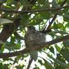 3.1.09 - Sonoran Desert Museum - hummingbird sitting on her eggs.