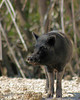 Feral pig seen from an airboat in the everglades.