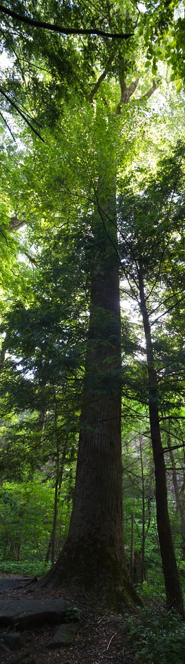 Old-growth tree near Chimney Tops picnic area, Great Smoky Mountains National Park. May 2010. Canon 20D hand held. Processed in Autopano Pro and Aperture2.
