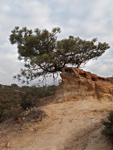 "Torrey Pine---The ""wild"" native population of Pinus torreyana is restricted to about 3000 trees growing in a narrow strip along the Southern California coast in San Diego."