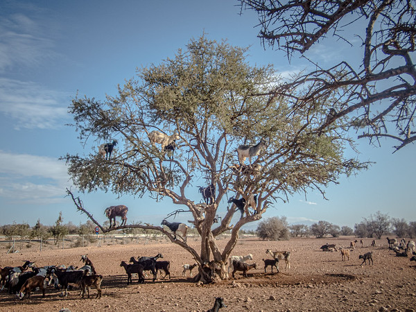 chèvres grimpent aux arbres