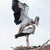 <b><center><em>The stork is holy to Marrakech. <br> To this day the offense of disturbing a stork carries a three-month prison sentence. We were just watching admiring the elegant and sophisticated way they move.