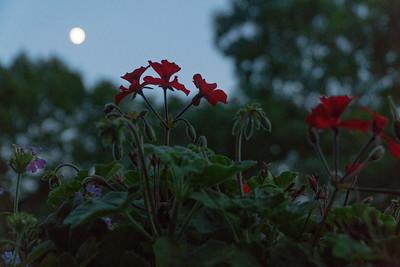 Geraniums and moonrise.