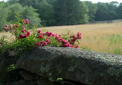 Wild  roses on a stone wall. Chilmark, Martha's Vineyard.