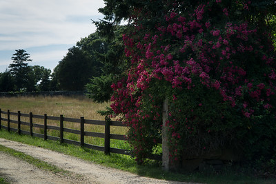 We drove to the beach at Menemsha and came across this scene. I had to stop to take a few pictures. Wild roses frame the entrance to an estate on the Menemsha Cross Road.